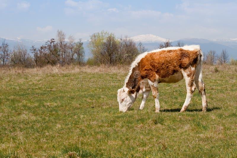 小牛吃 库存照片