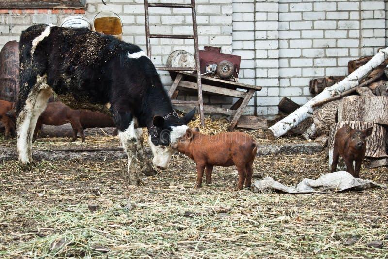 小牛和猪 库存照片