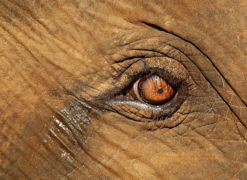 小牛哭泣的大象眼睛 库存图片