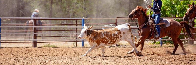 小牛绕绳在圈地 库存图片