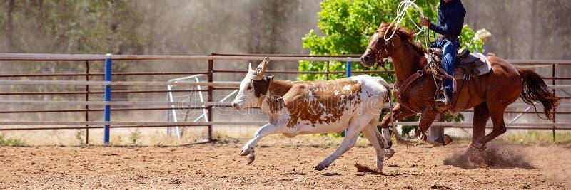 小牛绕绳在圈地 免版税库存照片