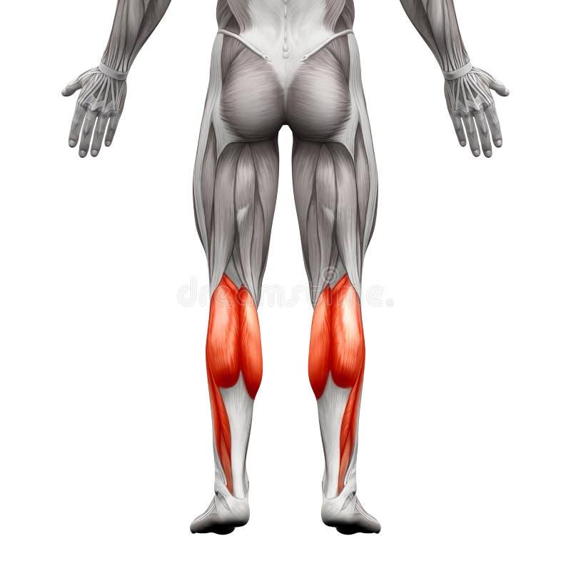 小牛肌肉男性-腓肠肌,脚底解剖学肌肉- isola 皇族释放例证