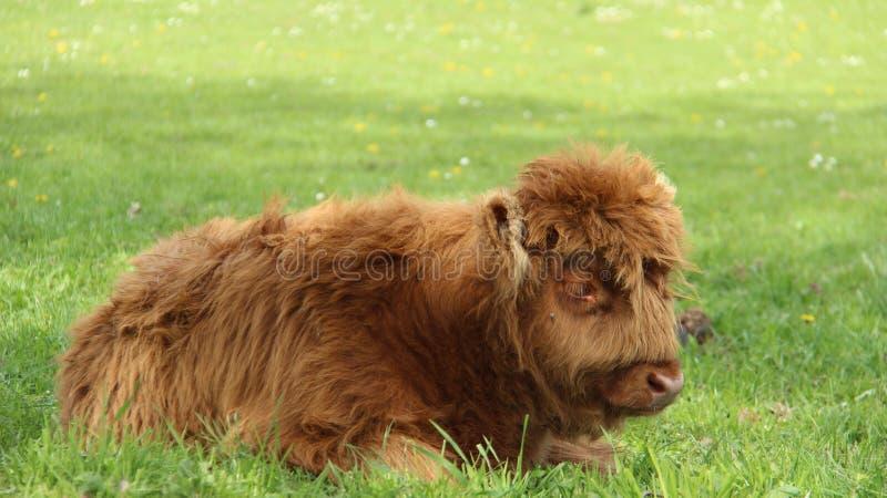小牛 在绿色领域的母牛 图库摄影