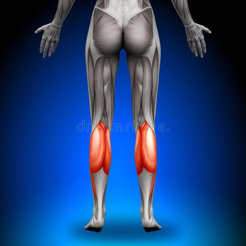 小牛-女性解剖学肌肉 向量例证