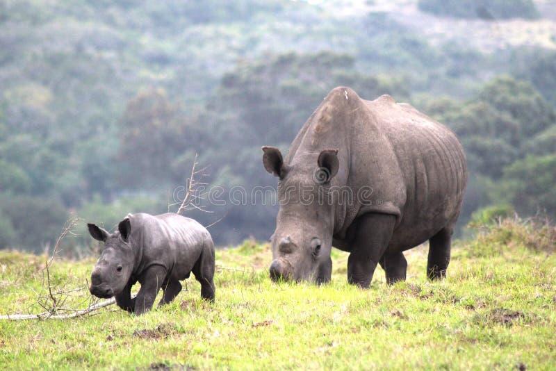 小犀牛和他的母亲 免版税库存照片