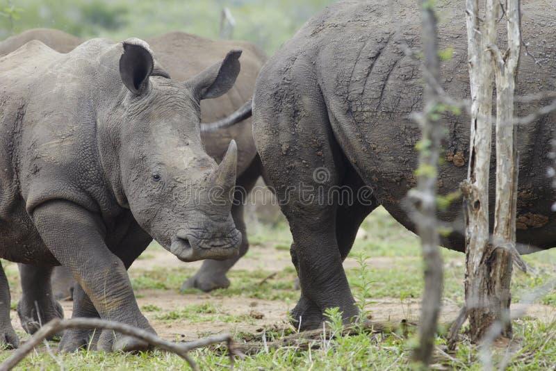 小犀牛走与牧群 免版税库存照片