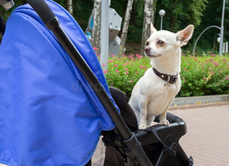 小犬座在婴儿车坐 免版税库存照片