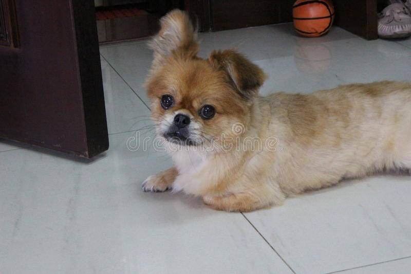 小犬座在家 图库摄影