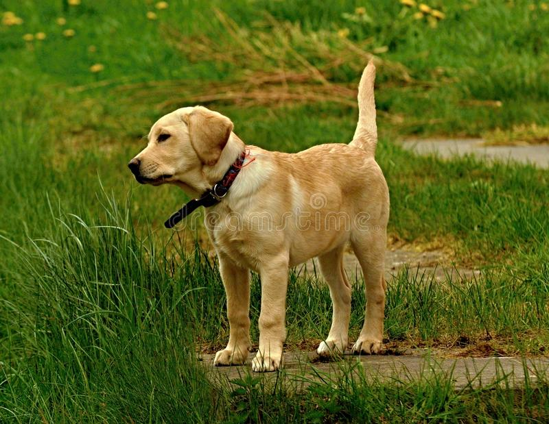 小犬座跑用棍子 免版税图库摄影