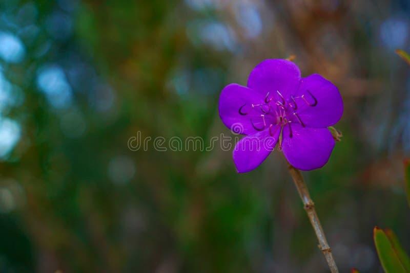 小狂放的紫罗兰色花 免版税图库摄影