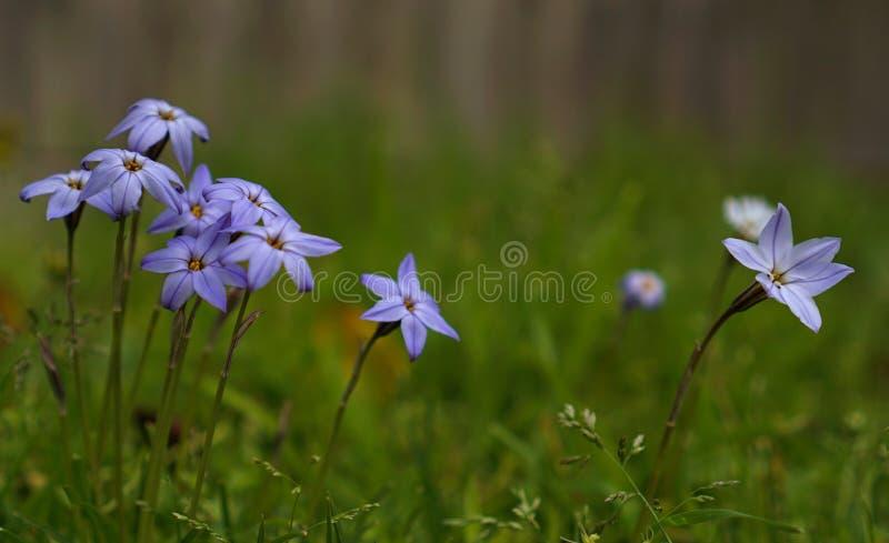 小狂放的紫色紫罗兰色花 免版税库存图片