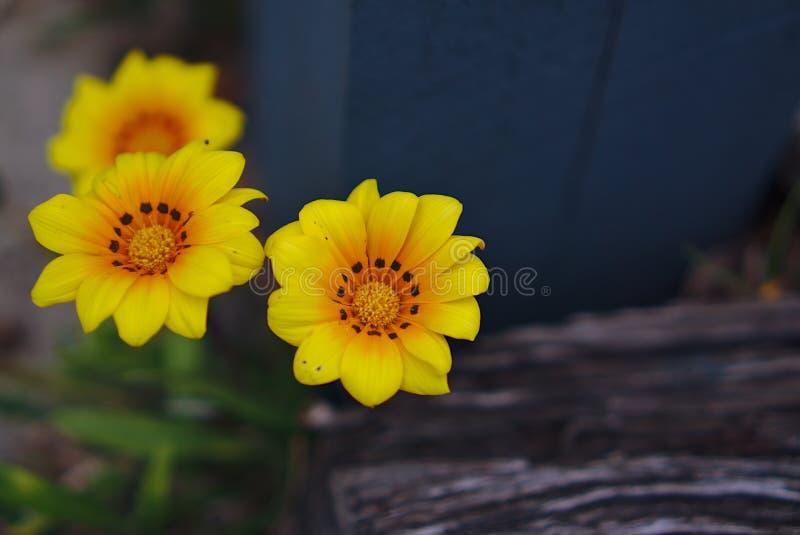 小狂放的黄色花 免版税库存照片