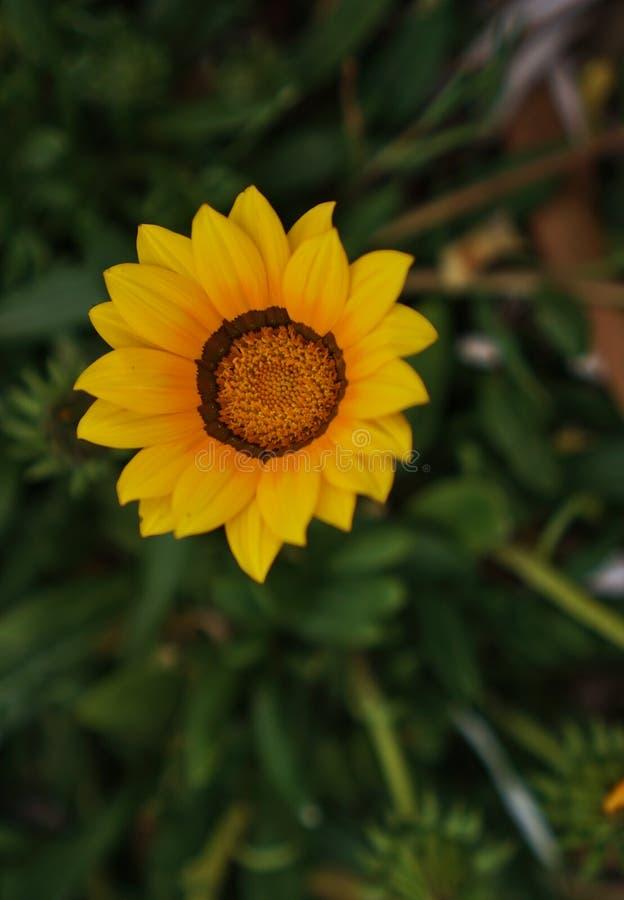 小狂放的黄色花 库存照片