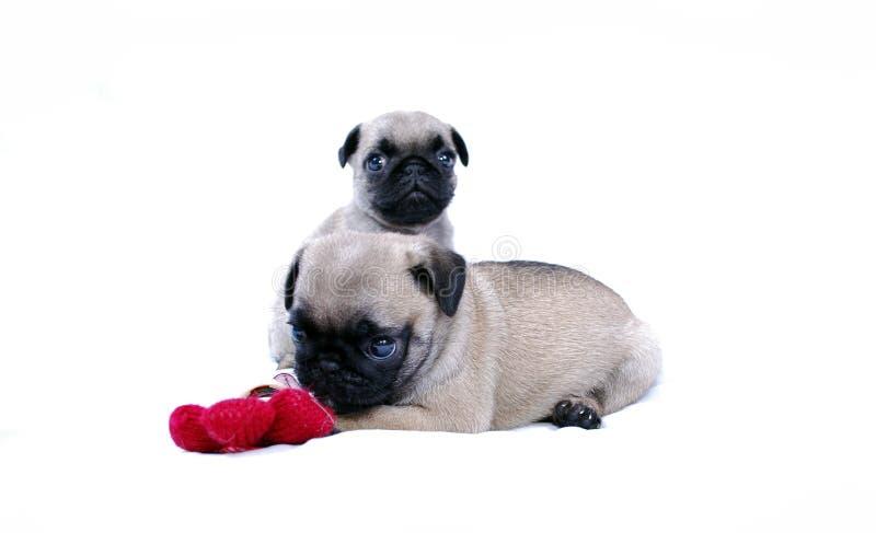 小狗与一朵被编织的红色花的Mopsa戏剧在白色背景 免版税图库摄影