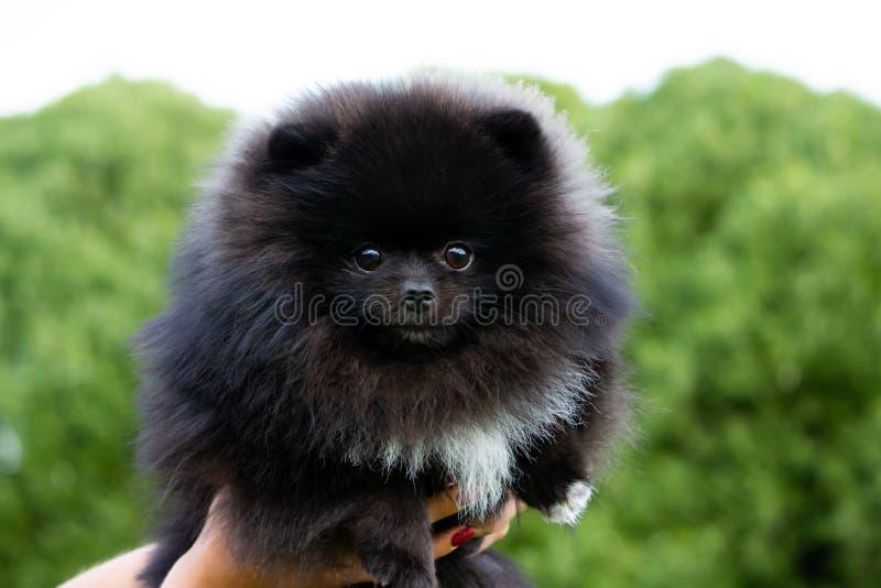 小狗与它的所有者的Pomeranian波美丝毛狗 在步行的幼小精力充沛的狗 颊须,画象,特写镜头 库存图片