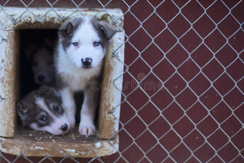 小狗两个月爱斯基摩狗 库存照片