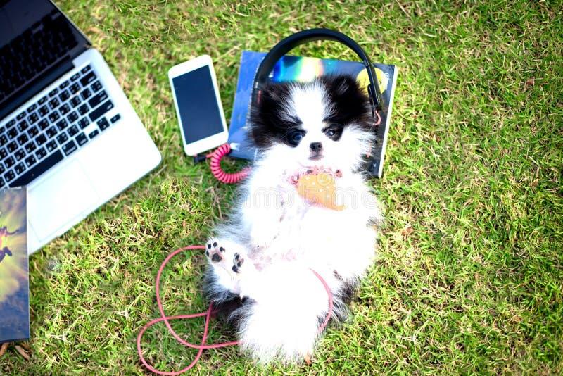 小狗享受在公园的草地的听的音乐 库存照片
