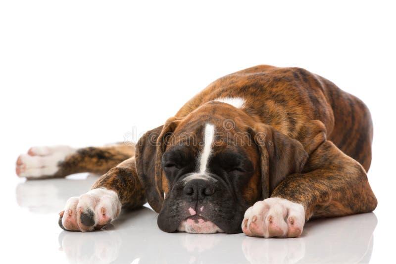 小狗休眠 图库摄影