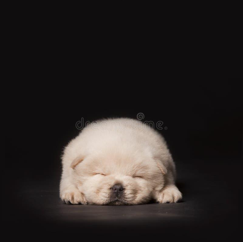 小狗休眠 免版税库存图片