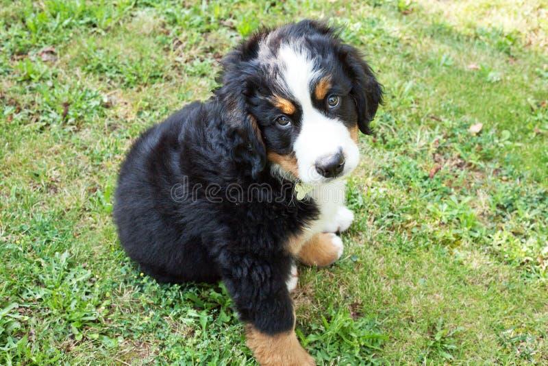 小狗伯尔尼的山狗在庭院里 库存图片