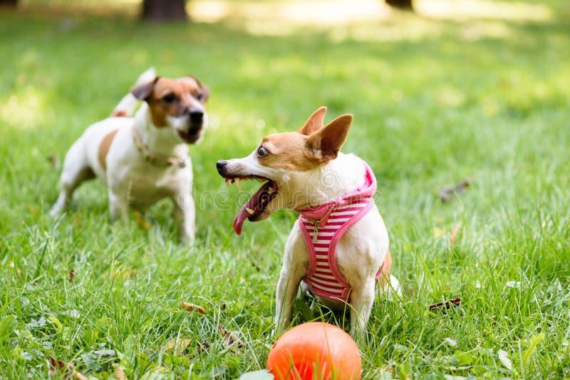 小狗保卫她的显示犬齿和咆哮的玩具 免版税库存图片