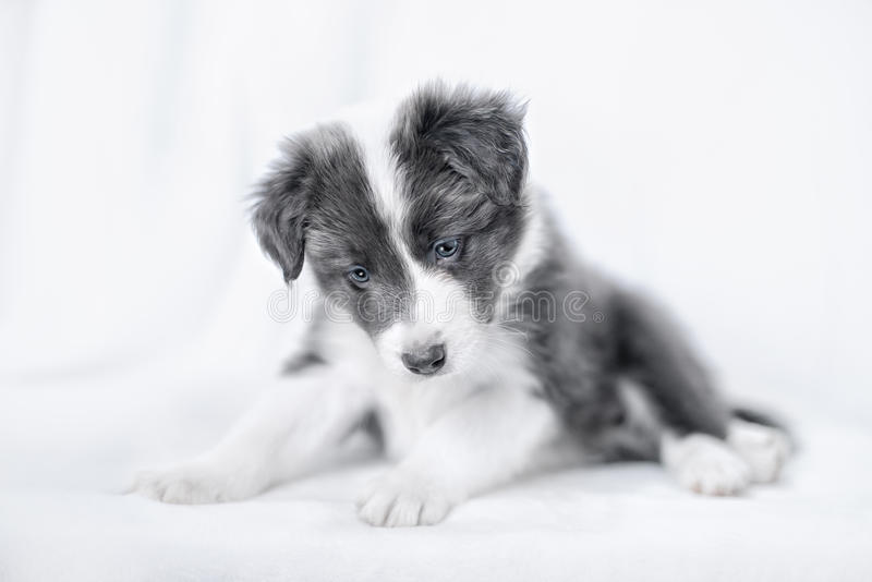 小狗博德牧羊犬画象  免版税库存照片