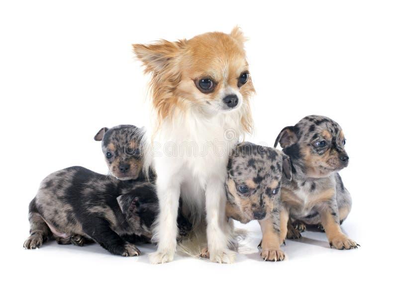 小狗和成人奇瓦瓦狗 库存照片