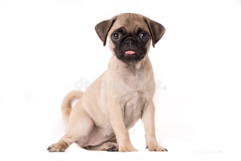小狗哈巴狗狗肉欲的画象坐白色背景-在边的文本空间 库存照片