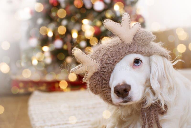 小狗在圣诞树下点燃庆祝穿驯鹿鹿角帽子服装的假日 库存图片