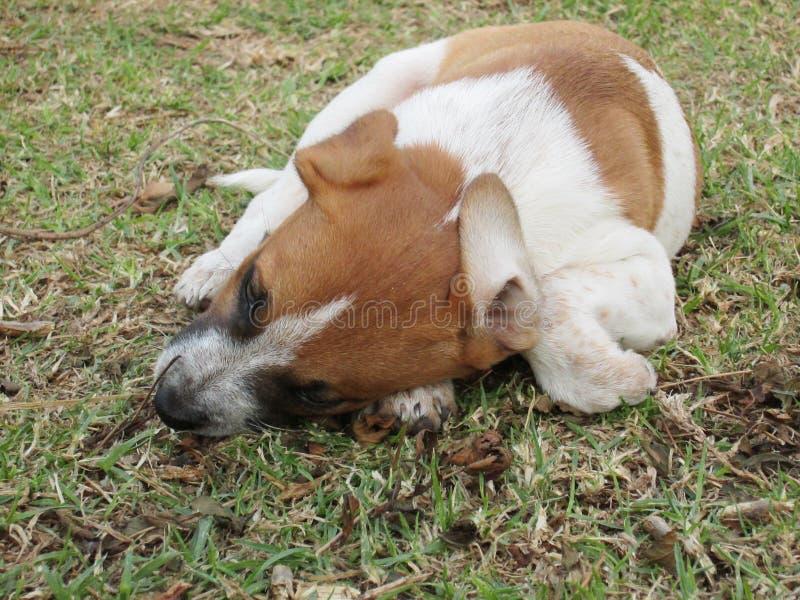 小狗在庭院里嚼一根棍子 库存照片