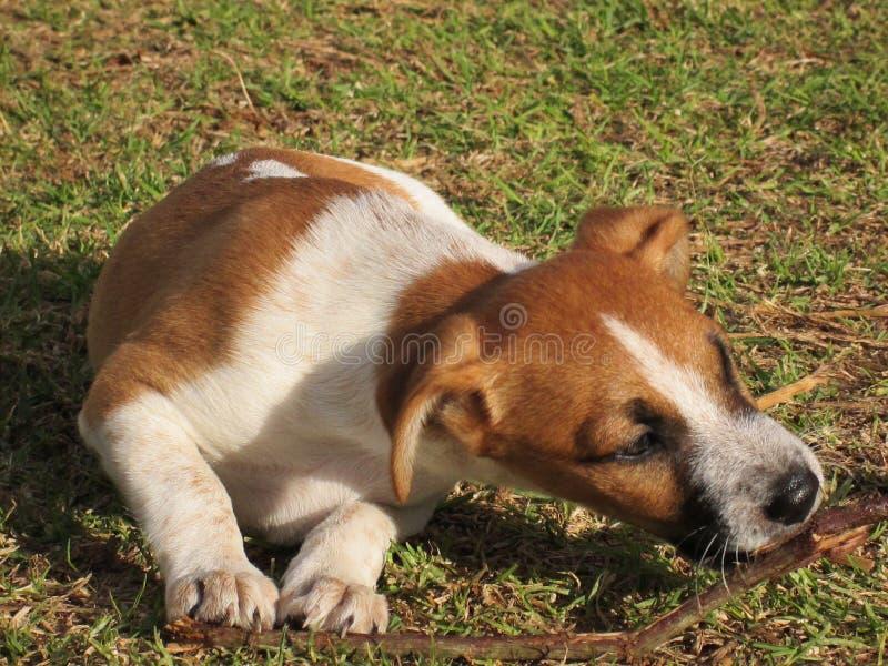 小狗在庭院里嚼一根棍子 免版税库存图片