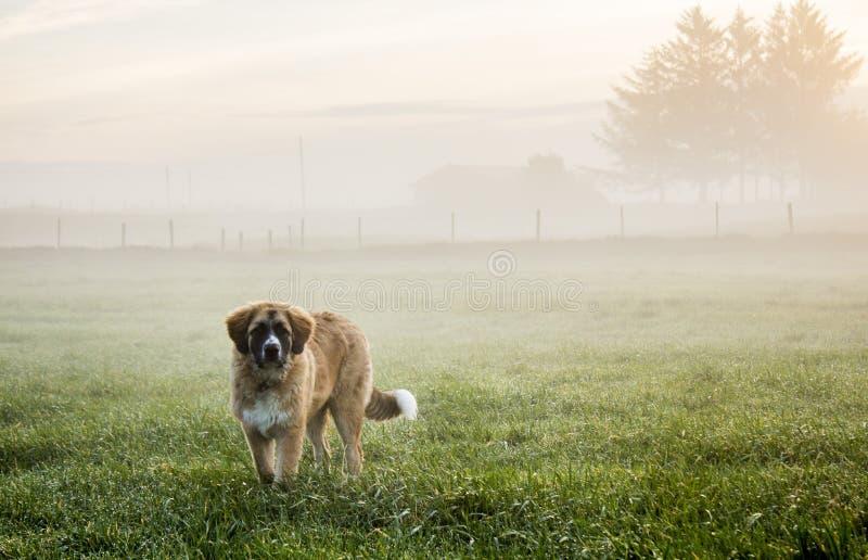 小狗在有薄雾的牧场地 免版税图库摄影