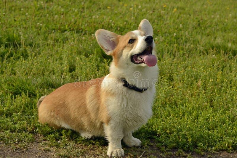小狗在步行的小狗彭布罗克角 在步行的幼小精力充沛的狗 小狗教育, cynology,幼小狗密集的训练  结构 库存图片