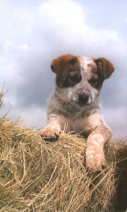 小狗大农场 库存照片