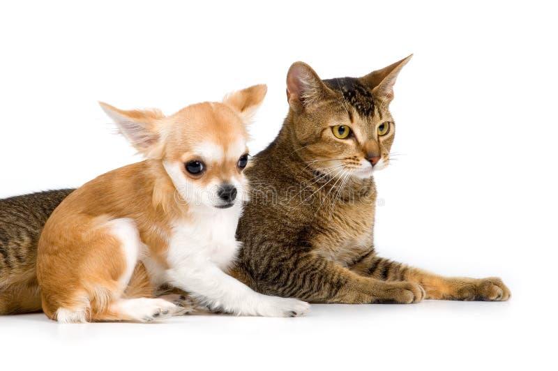 小狗奇瓦瓦狗和猫在工作室 免版税库存照片