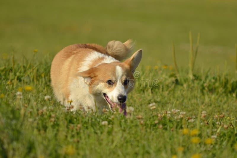 小狗小狗 在步行的幼小精力充沛的狗 小狗教育, cynology,幼小狗密集的训练  尾随本质走 免版税库存图片