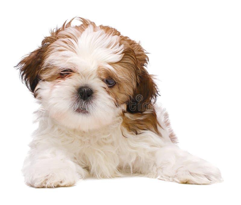 小狗摆在 免版税库存图片
