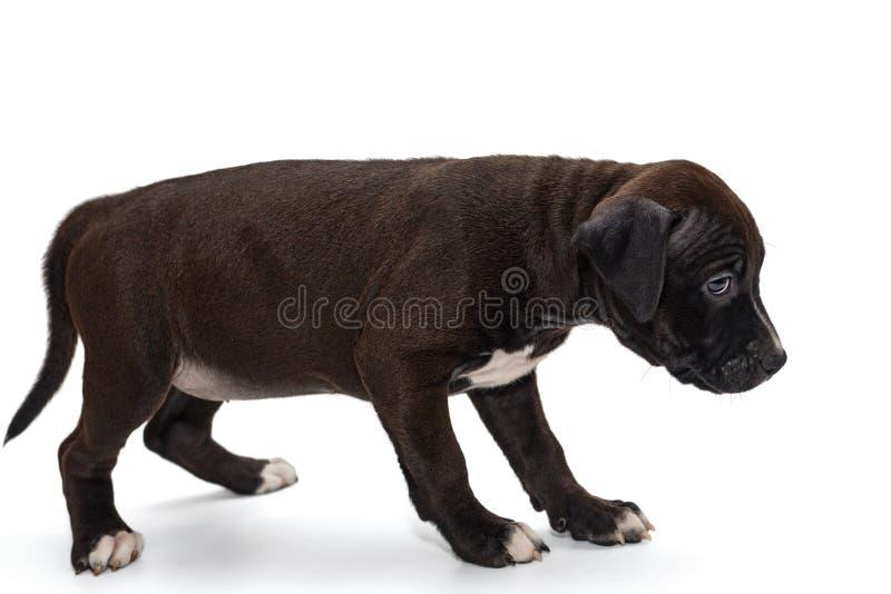 小狗斯塔福德郡狗 免版税库存图片