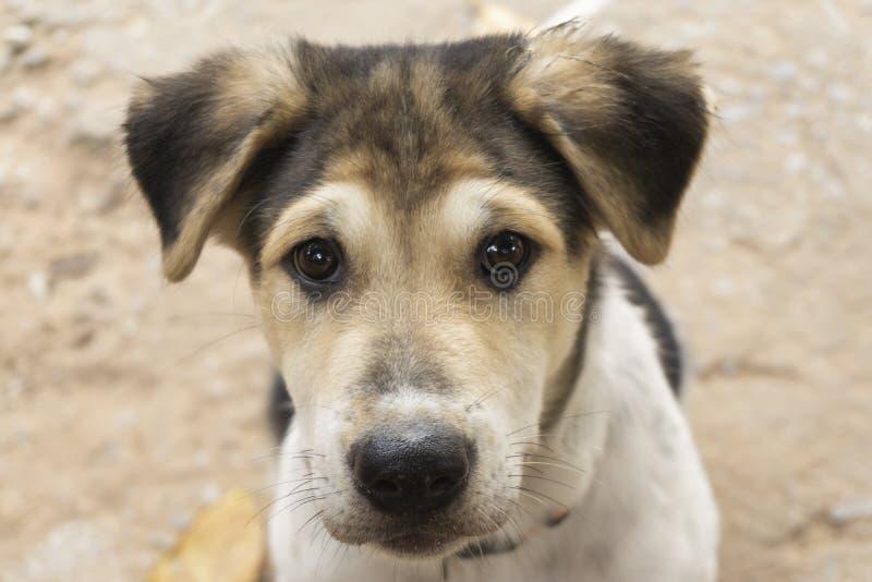 小狗是棕色的,白色,黑色头发,黑鼻子,棕色眼睛 免版税库存图片