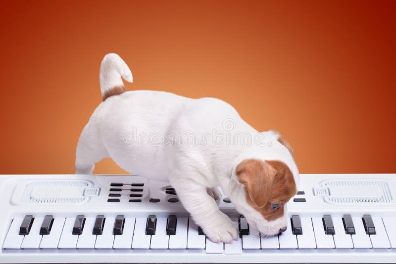 小狗杰克罗素使用 免版税图库摄影