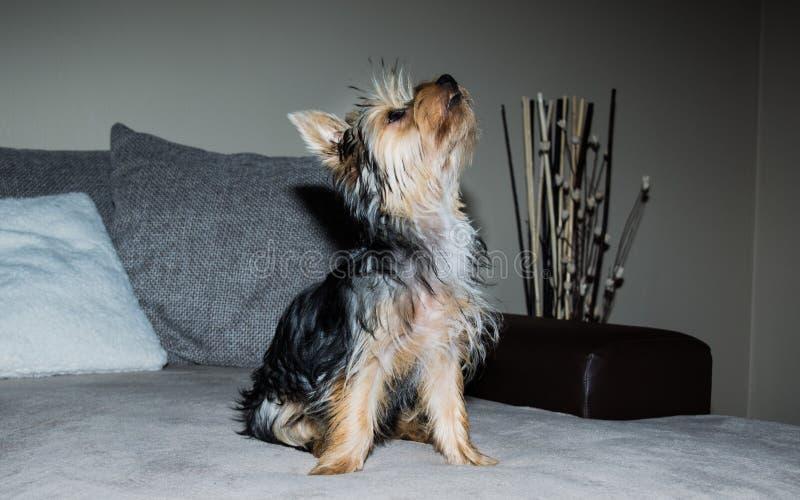 小狗狗约克夏 库存图片