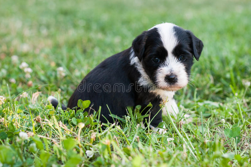 小狗狗藏语 库存图片
