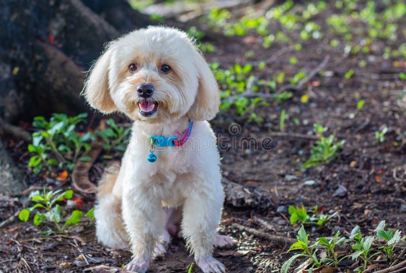 小狗狮子狗,在绿色公园背景,背景自然,绿色,动物的逗人喜爱的白色狮子狗,放松宠物,狗看 库存照片