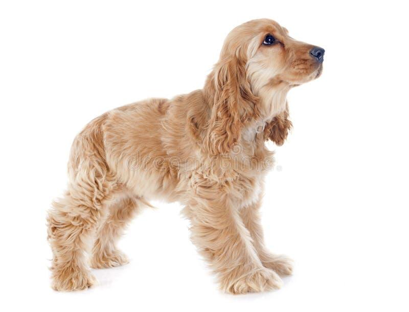 小狗猎犬 免版税图库摄影
