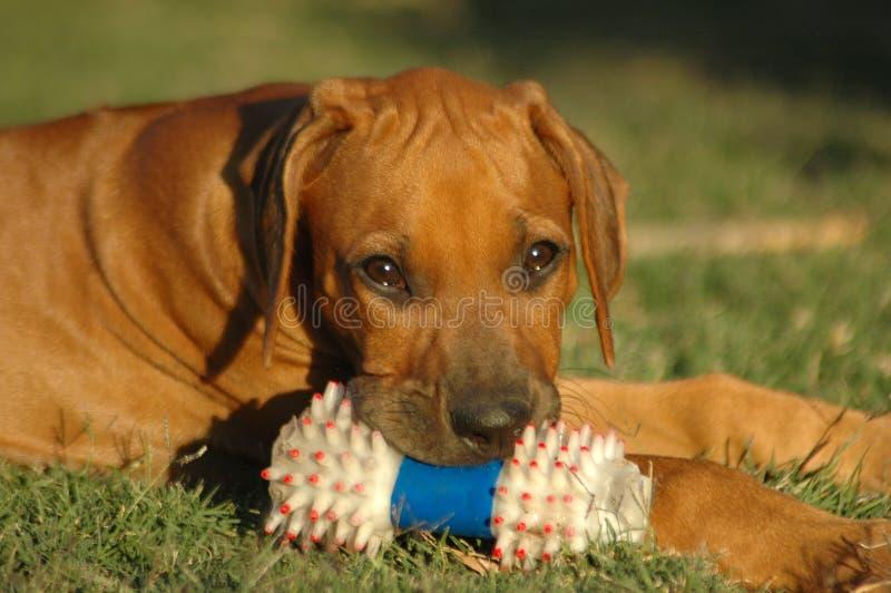小狗玩具 免版税图库摄影