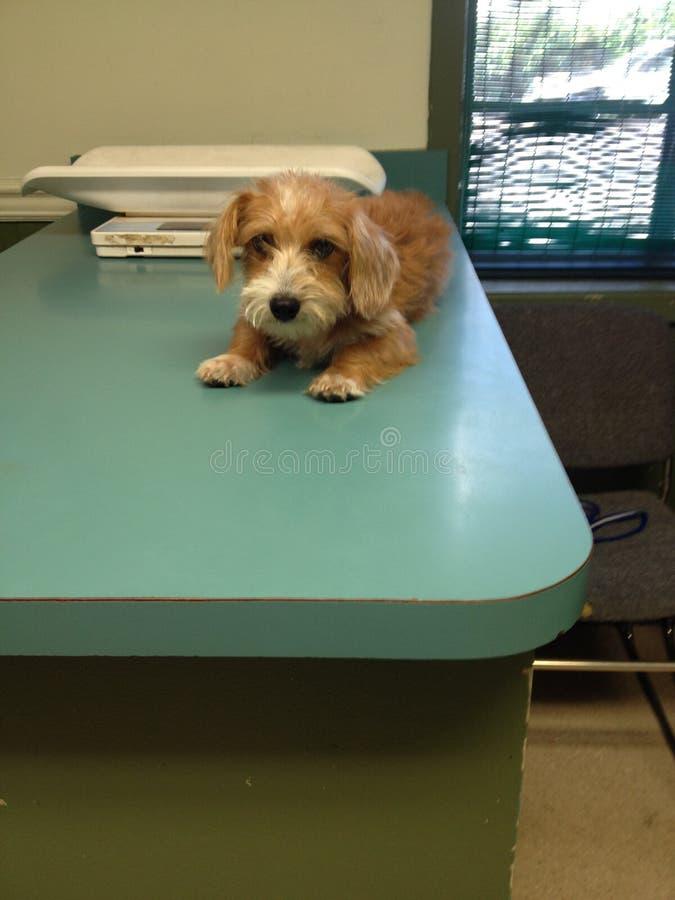小狗的第一次狩医参观 免版税库存图片