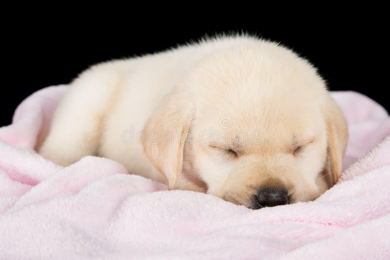 小狗睡觉在桃红色蓬松毯子的拉布拉多 库存图片