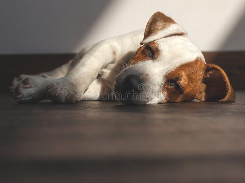 小狗睡觉 库存照片