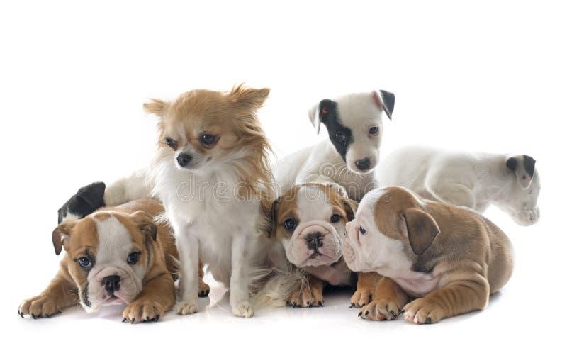 小狗英国牛头犬和起重器罗素狗 免版税图库摄影