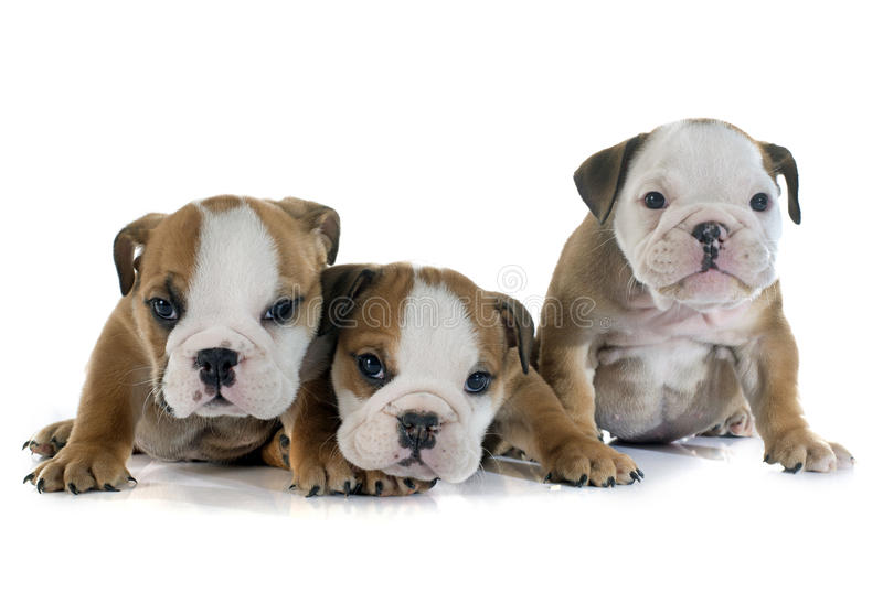小狗英国牛头犬 免版税库存图片